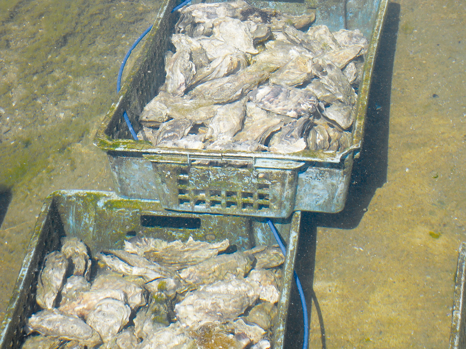oysters-258278