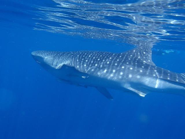 Whale Sharks off the Damaniyat Island (3)